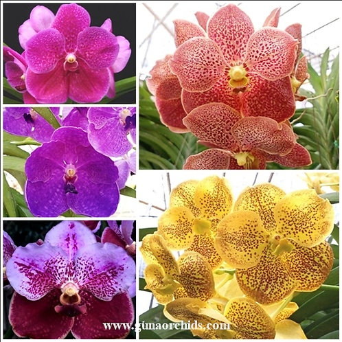 Vanda BS 5 Pack Combo - Extra Large