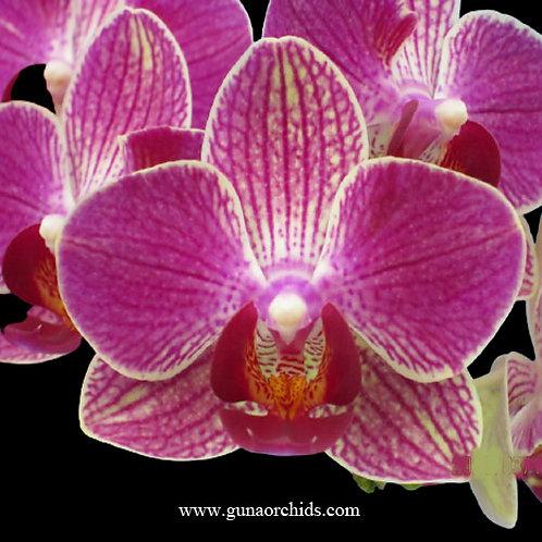 Phalaenopsis Fangmei Sweet BS