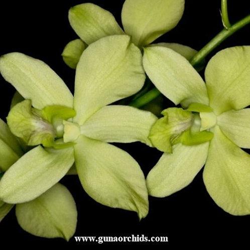 Dendrobium Aridang Green MS