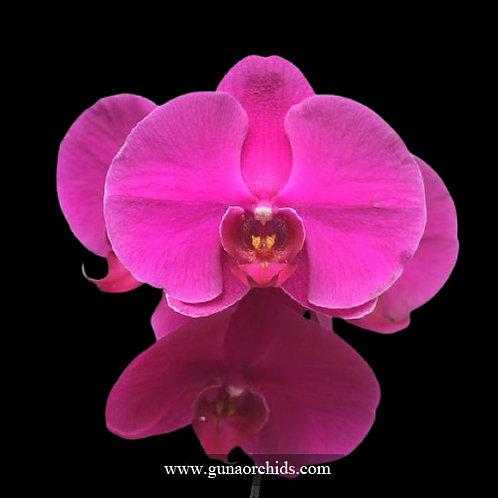 Phalaenopsis Big Red Rose BS