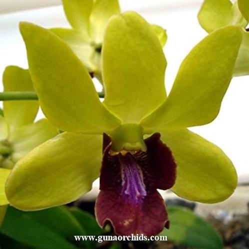 Dendrobium Thongchai Gold Pramot MS