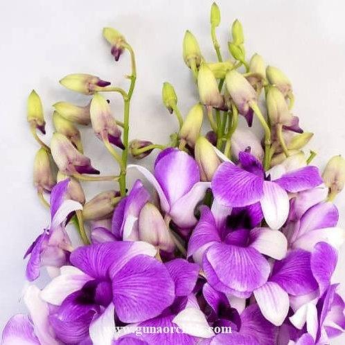 Dendrobium Blue Berry MS