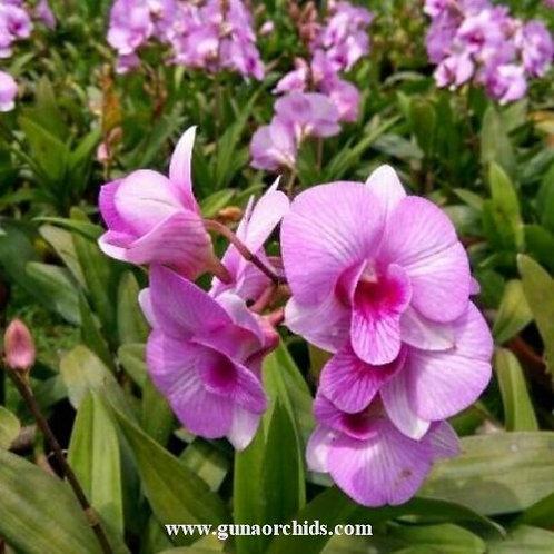 Dendrobium Fancy Pink Stripe MS