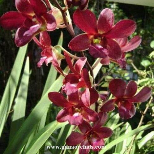 Dendrobium Sugar Brown MS