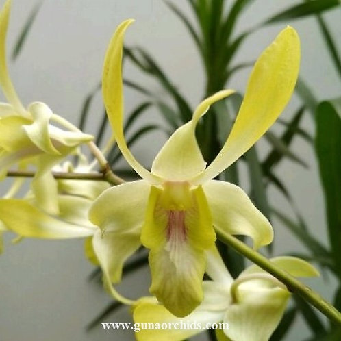 Dendrobium Canary Gold Twisted MS