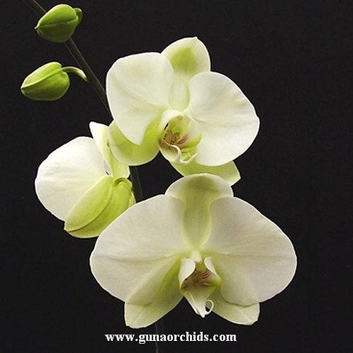 Phalaenopsis Heliodor ''Darwin'' BS