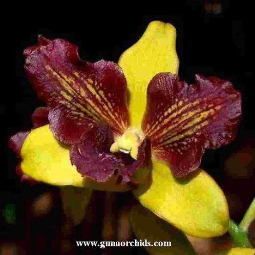 Dendrobium Yellow 3 Lips MS