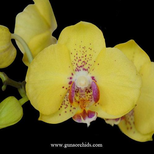 Phalaenopsis Gan Lin Yellow Lover BS
