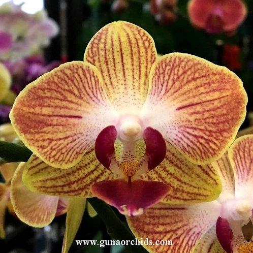 Phalaenopsis Fuller's Gold Stripe BS