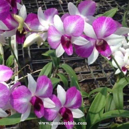 Dendrobium Fuji MS