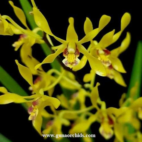 Dendrobium Gold Mine MS