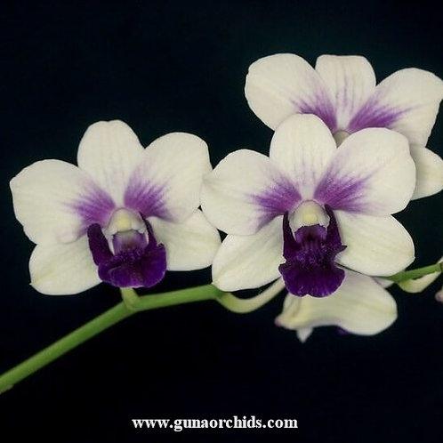 Dendrobium Emma White x Burana Charming MS