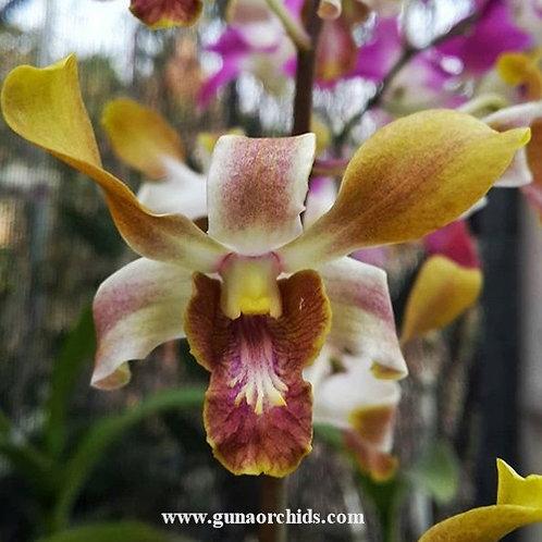 Dendrobium Brown Derby x Lasianthera MS