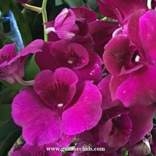 Dendrobium Round Red MS
