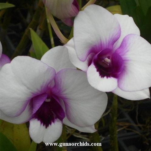 Dendrobium Jub Jub Dragon Eye MS