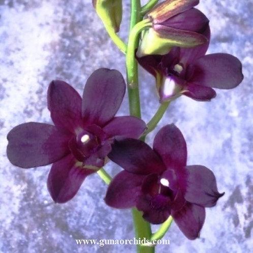 Dendrobium Laddawan Red MS