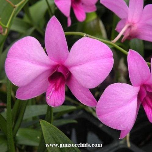 Dendrobium Mini Purple MS