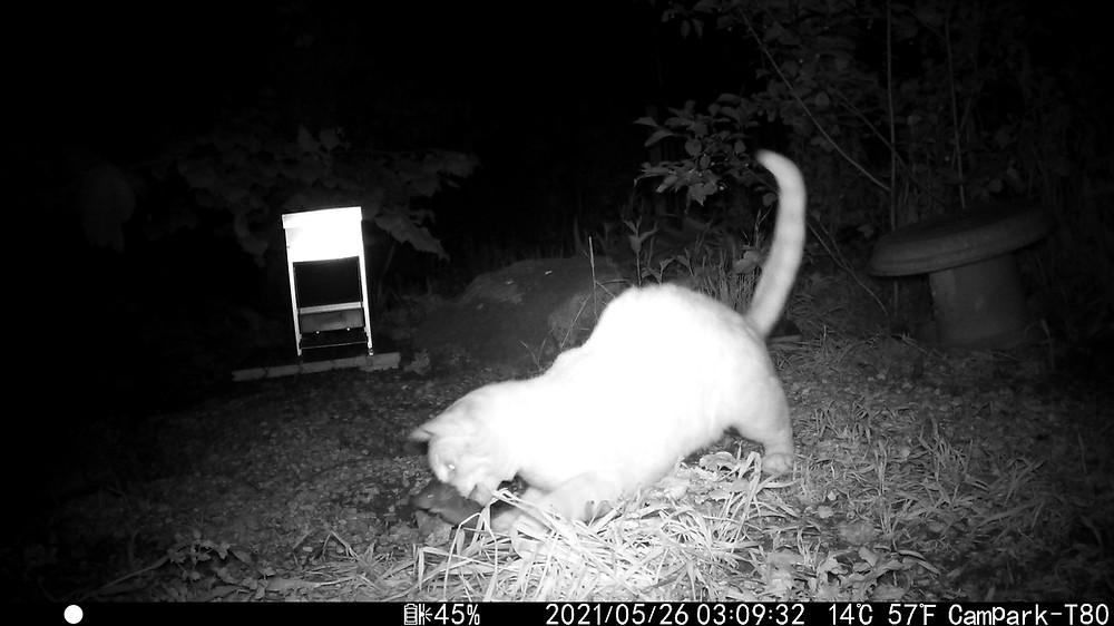 chat arreapant un rat (camera infra-rouge)