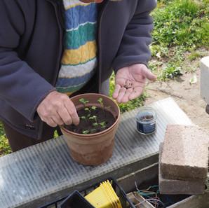 semer des choux.JPG