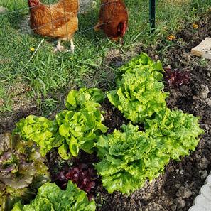 les poues et les salades.jpg