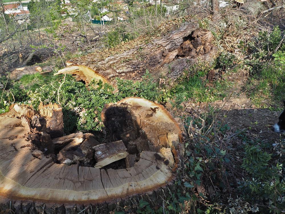 souche et tronc creux d'un chêne malade
