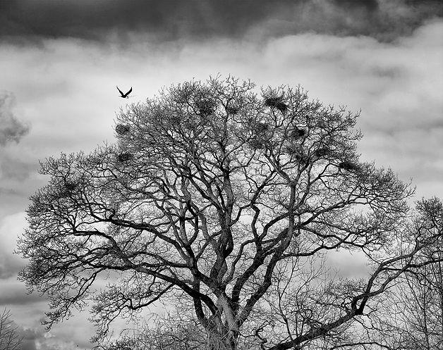 Crows nests.jpg