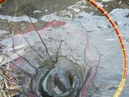 宝慶寺に放流した岩魚