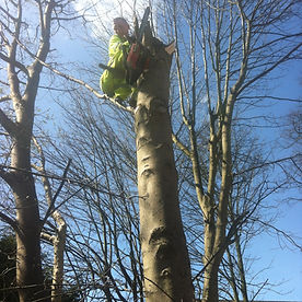 silver birch tree cut down with chainsaw, top to bottom