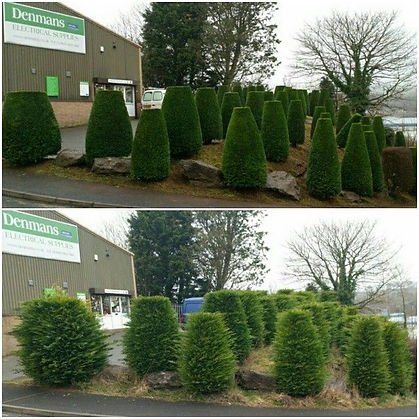 hedges trimmed round and shaped up halesowen