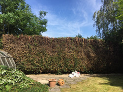 Conifers cut back and lopped tops