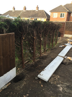 Conifers trimmed back for new fence