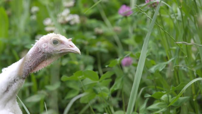 APPPA: Pasture Raised Turkey