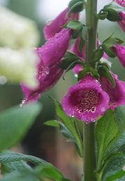 Dewy Purple Foxglove