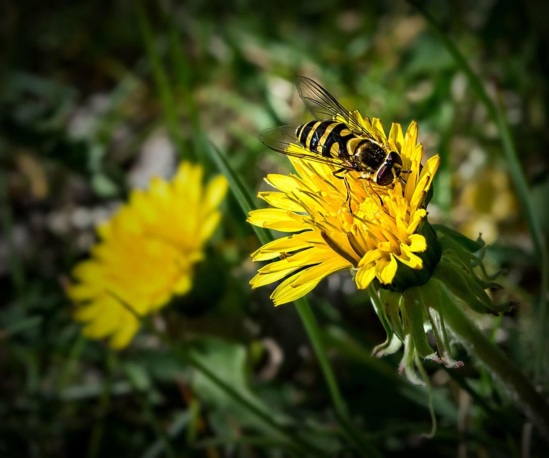 Yellow wasp on dandelion, BC bugs