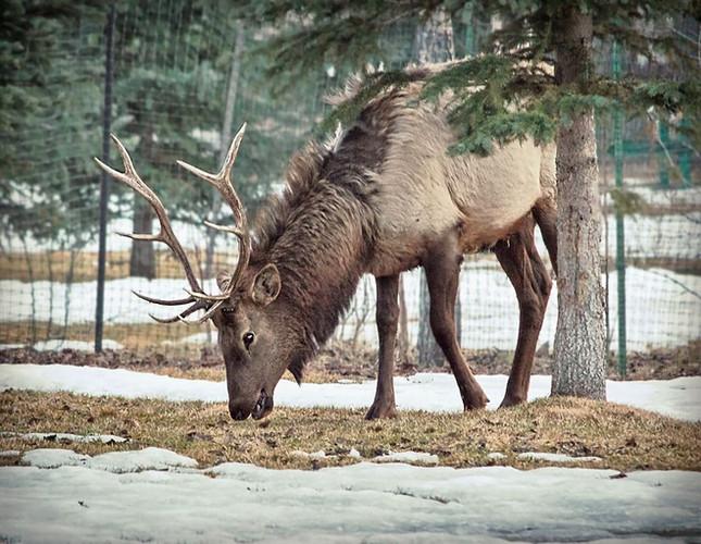 Banff, AB bull elk in town