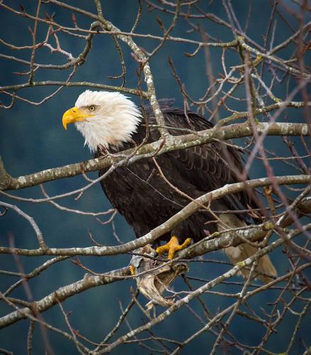 Bald Eagle bird eating salmon in tree, Misson BC