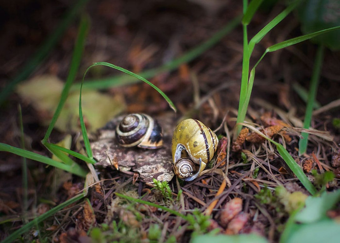 family of snails, BC bugs