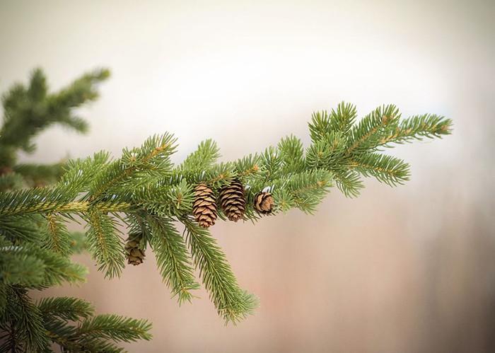 BC pine tree
