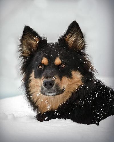 austrailian shepherd dog in snow