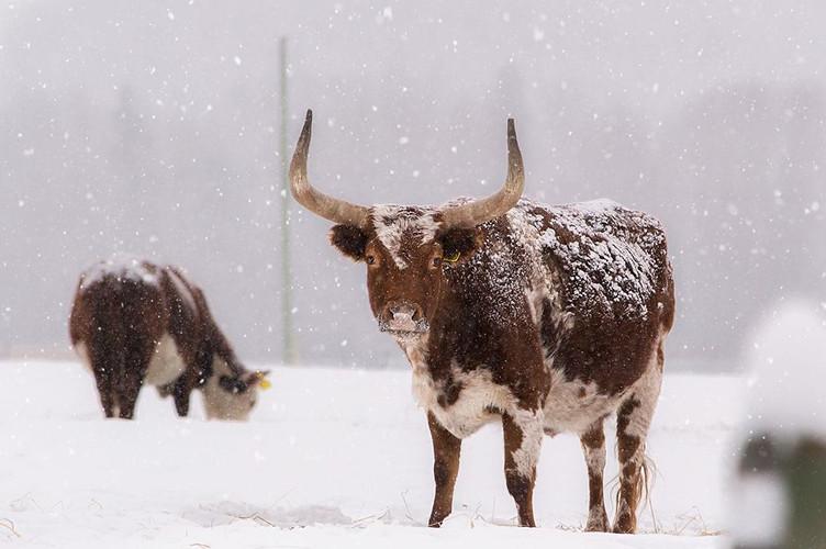 Chu Chua ranch - bull cow with horns