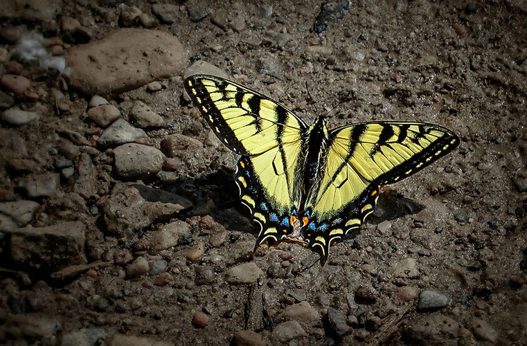 yellow swallowtail butterfly, BC bugs