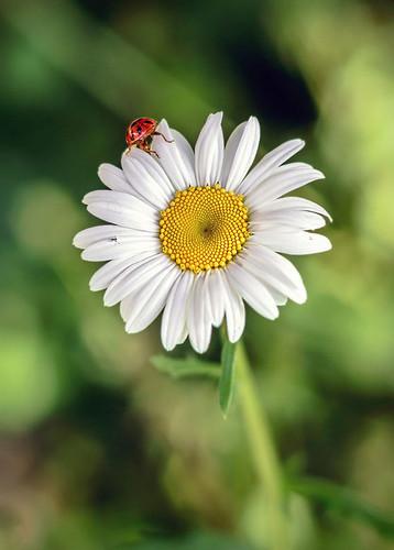 lady bug on a daisy flower, BC flowers