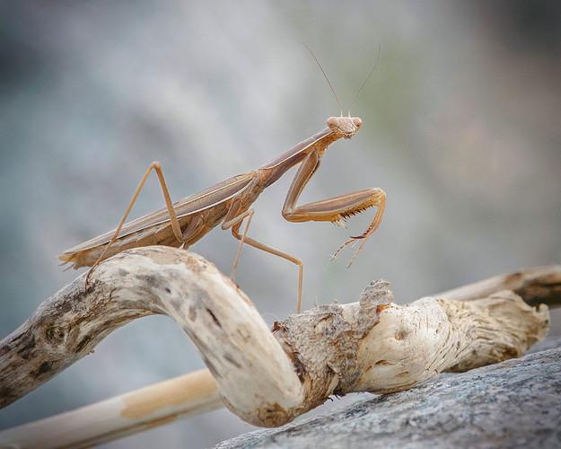 praying mantis, BC bugs