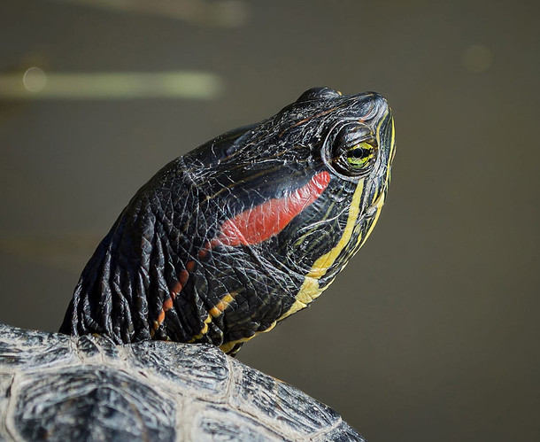 red and yellow painted turtle, chrysemys picta