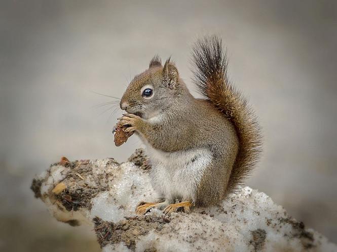 BC squirrels