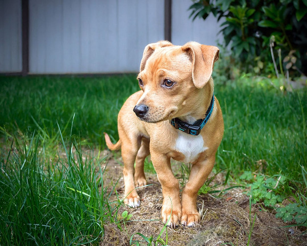 chiweenie chihauhau daschund puppy dog