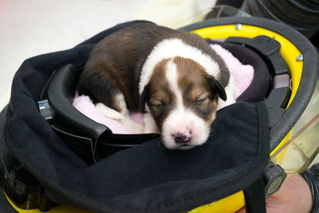newborn border collie puppy in BC firefighter helmet