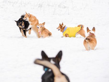 Okanagan Corgis - Kelowna Dog Park Meetup