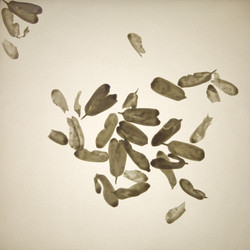 maple shells