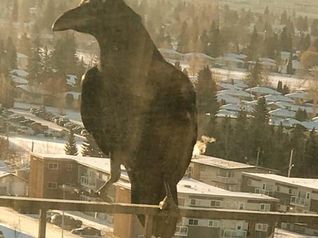 A Raven - to Bring me Joy!